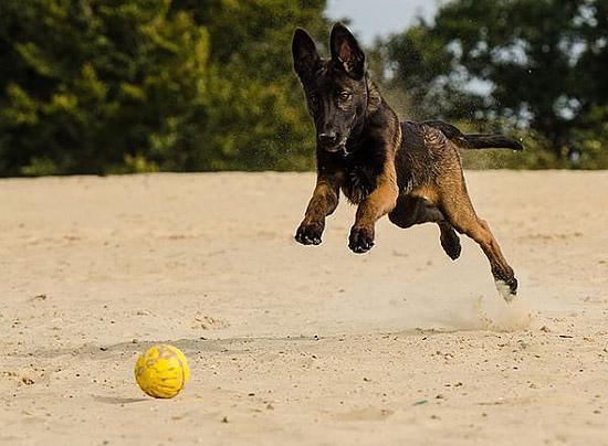 les chien les plus forts au monde